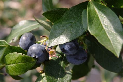 Scientists Found That You Can Grow Better Blueberries by