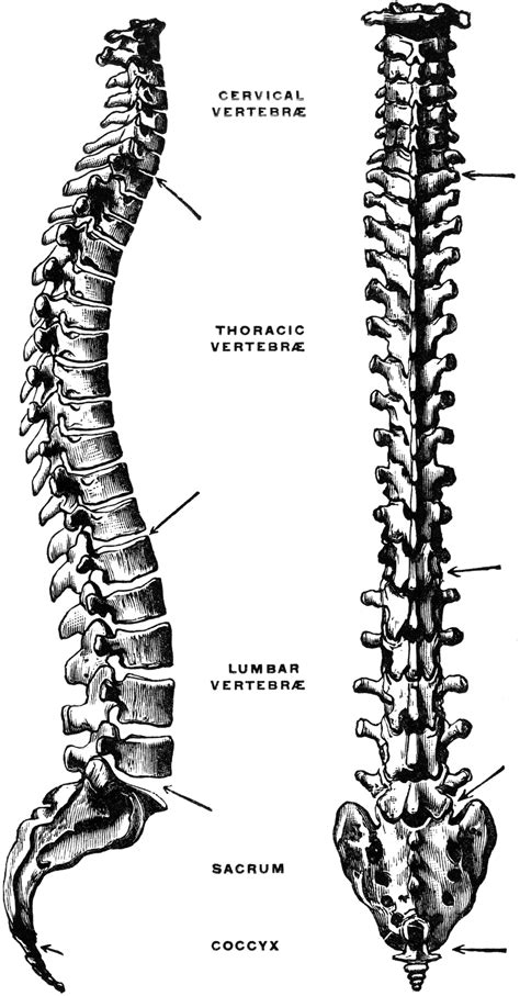 Lateral and Dorsal View of the Vertebral Column | ClipArt ETC